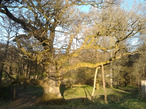 SUnshine on Birnam Oak